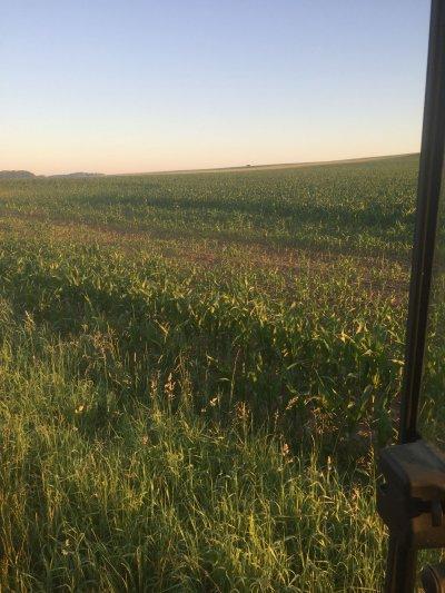 Der Mais blieb durch Verdichtungsschäden stehen