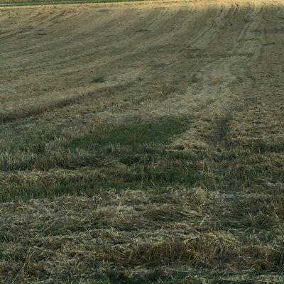 Roggenfeld nach dem Drusch